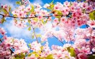 cherry-blossom-spring